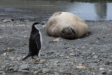 Chinstrap Penguin Walking Past An Elephant Seal On Elephant Island In Antarctica.