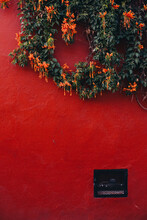 Orange Trumpet Creeper Growing Along A Red Wall In Tequisquiapan, Mexico