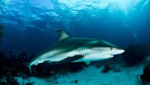 Reef Shark Swimming In Sea