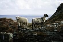 Sheep Stan