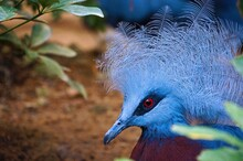 Close-up Of A Victoria Crowned Pigeon