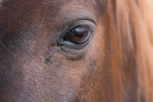 Close Up Of The Head Of A Brown Horse With Some Small Blades Of Grass In The Corner Of The Eye. Landscape Is Mirrored In The Curvature Of The Eye. Focus On The Lashes