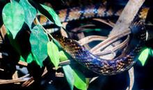 Rainbow Color Reflex Of Snake Skin On Green Leaf