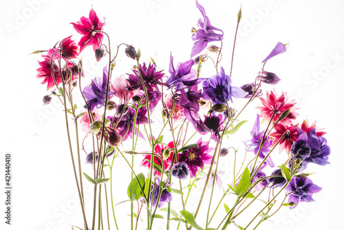 aquilegia flowers on the white background Fotobehang