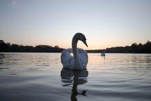 Swan Floating On Virginia Water Lake At Sunset