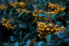 Close-up Of Orange Berries Growing On Plant
