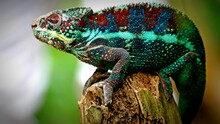 Close-up Of A Chameleon On A Tree