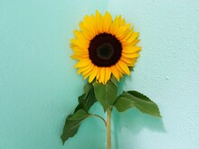 Close-up Of Sunflower Against Green Wall