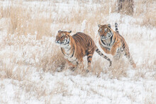 Tigers Playing Chase In Winter