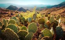 Cactus Plants Growing On Land