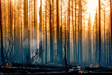 View Of Burned Pine Trees In Forest