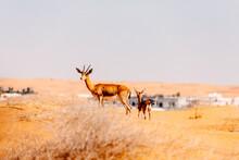 Gazelle On Field In Front Of Buildings