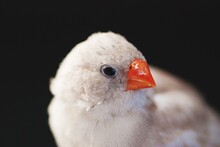 Close-up Of A Finch Against Black Background