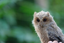 Close-up Owlet Or Baby Scops Owl Against Blurred Background