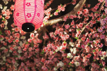 Japanese Decoration With A Pink Lantern And Sakura Flowers Background