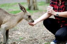 Feeding Wallaby