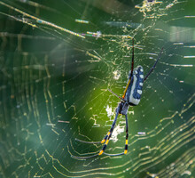 Golden Orb Spider On Its Web In Early Morning Sunlight