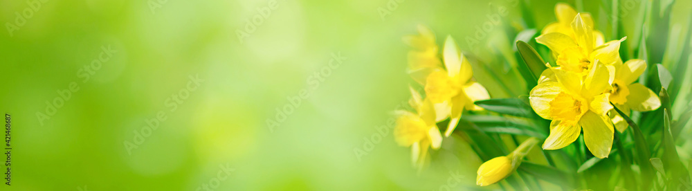 Fototapeta Spring Nature background with Daffodil Flowers