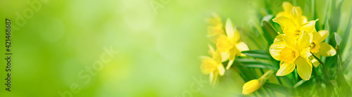Photo Spring Nature background with Daffodil Flowers