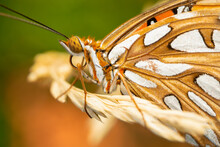 Close Up Of A Gulf Fritillary Butterfly On Grass.
