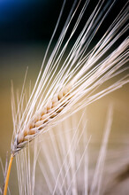 Field, Rye, Oats, Crops, Agriculture, Comercial Photo