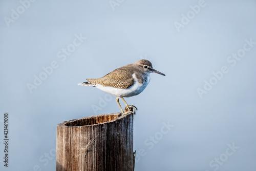 Obraz na płótnie Common sandpiper (Actitis hypoleucos) Standing on a wooden