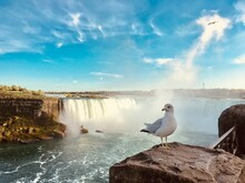 Seagull Posing For Photo Infront Of Niagara Falls