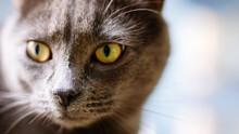 Portrait Of  Grey Kitten