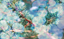 Christmas Background With Twigs Of Pine, Spruce Close-up In Light Bokeh. Copy Space, Greeting Card