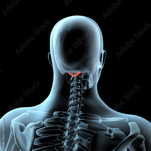 Fotografie, Obraz 3D Illustration of the Rectus Capitis Posterior Major Muscles Anatomical Positio
