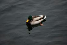 Ducks Swimming In The Lake, Trakai Lake, Lithuania. Cloudy Weather.
