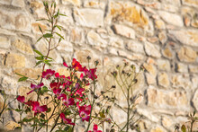 Flowering Shrub Of Dog Roses And A Sunlit Stone Wall As A Background