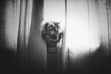 Cat Peeking From Behind Curtains