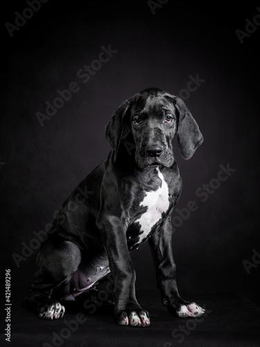 Obraz na plátně Portrait of a great dane puppy on black background