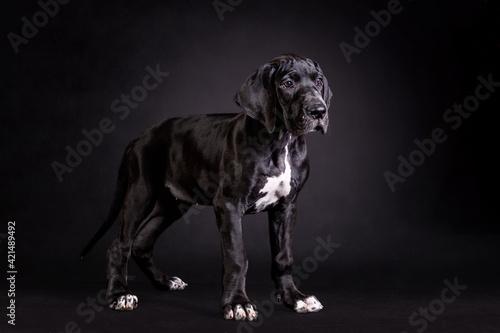 Fototapeta Portrait of a great dane puppy on black background