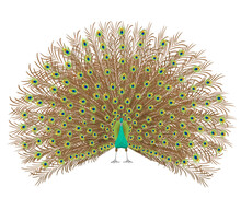 Beautiful Peacock Spreading Its Tail. Isolated On White Background. Vector Illustration.