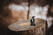 Woodpecker On Tree Stump