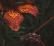 Close-up Of Wet Orange Leaves During Rainy Season, Macro Plant