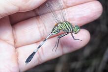 Green Marsh Hawk Dragonfly