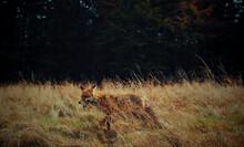 Fox Running On Field In Forest