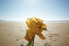 Close-up Of Yellow Rose On Beach