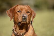 Close-up Portrait Of A Dog, Labrador Retriever