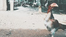 The Beauty Of Indonesian Chicken