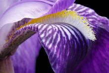 Mauve Iris Flower, Close Up, Macro Photo, With Black Background,