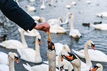 Close-up Of Swan On Water Eating From Human Hands