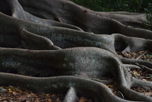 Fig Tree Roots, Sarasota Florida