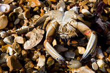 Washed Up Dead Common Shore Crab
