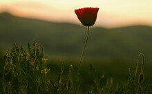 Close-up Of Poppy Flower On Field During Sunset
