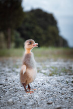 Close-up Of A Duckling On Gravel