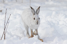 Snowshoe Hare Hopping Through The Snow. All White Winter Scene With The White Hare On The White Snow.
